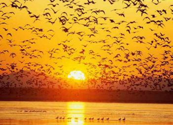 Огромная стая перелетных птиц на
